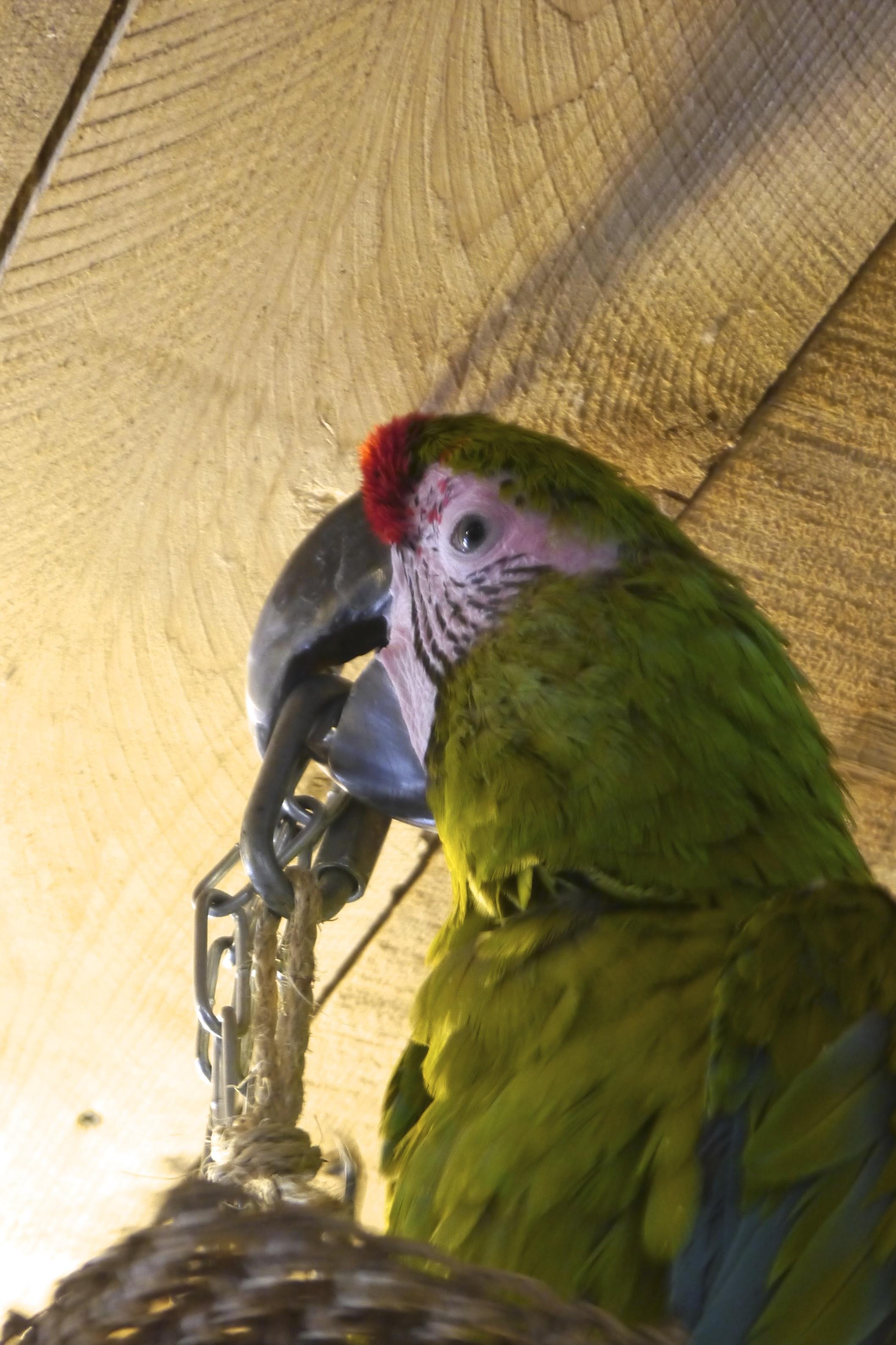 Foster Parrots - Woodstock.jpg