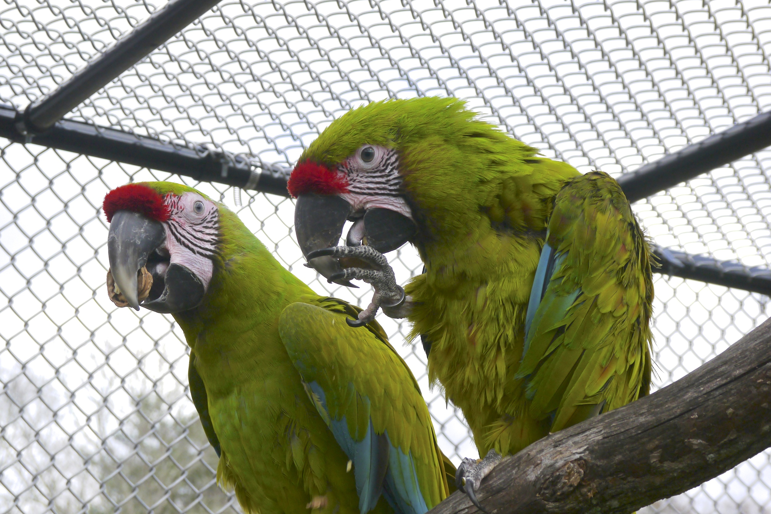 Foster Parrots - Maya and Woodstock.jpg