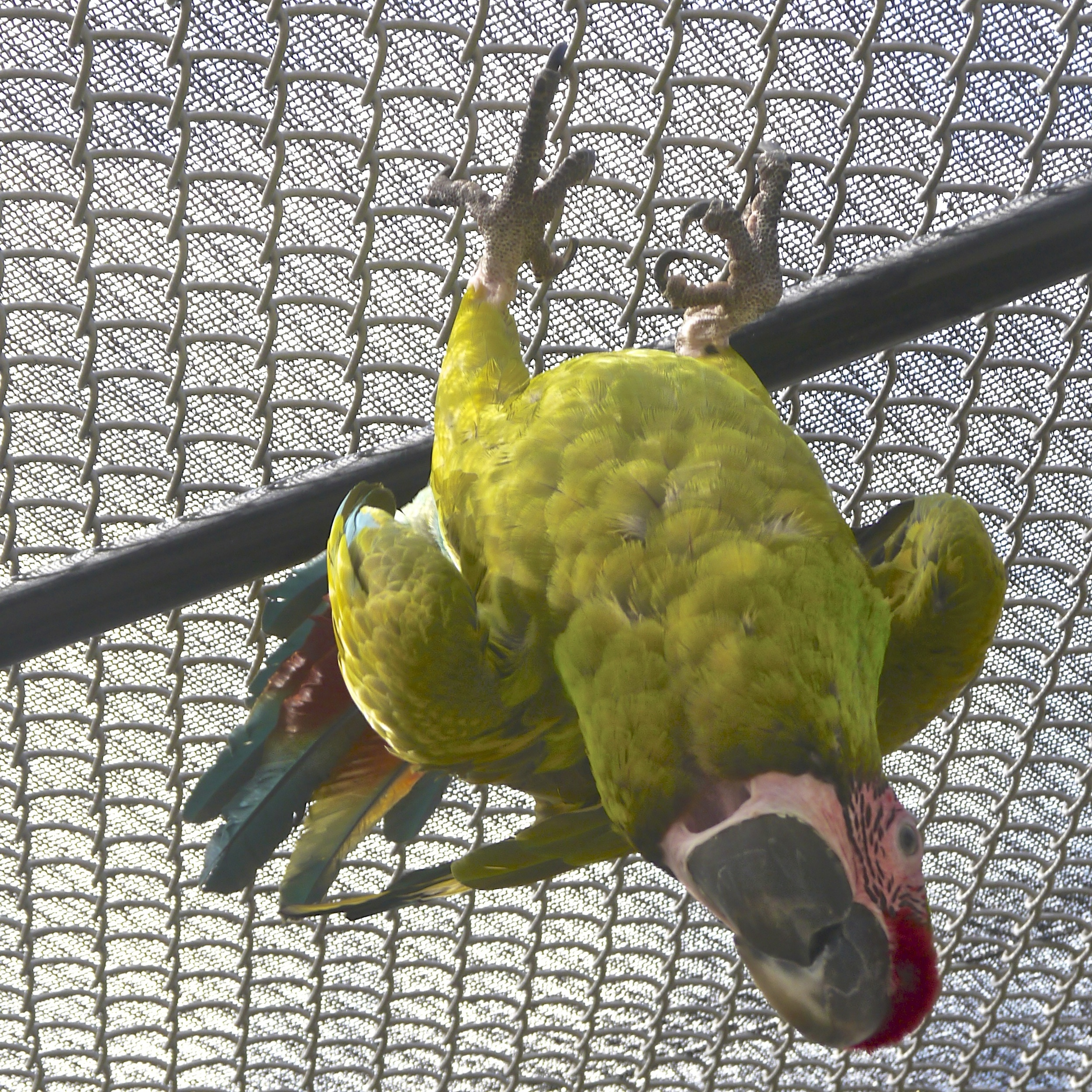 Foster Parrots - Woodstock - Version 2.jpg