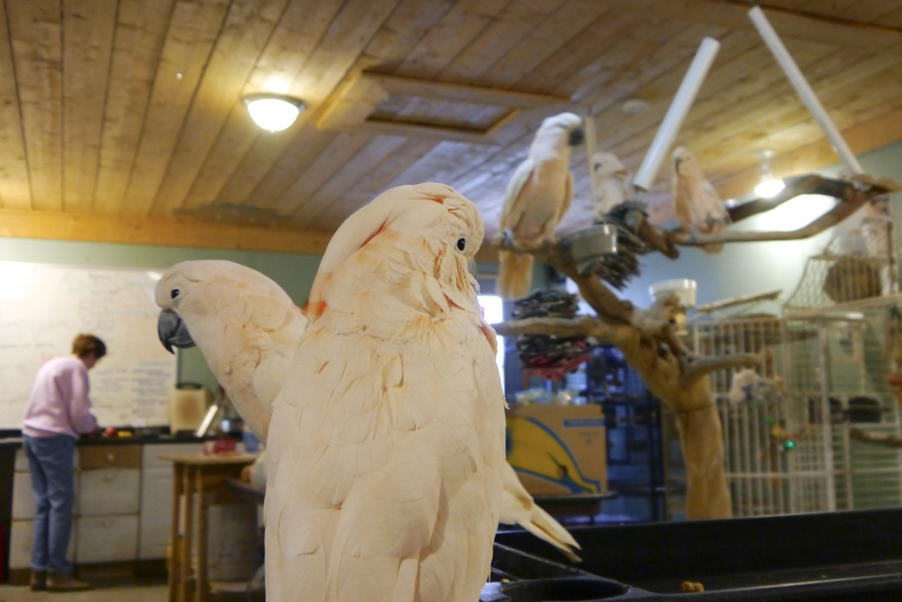 Foster Parrots - Cockatoo Party with Bev copy.jpeg