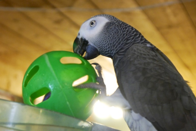Foster Parrots - Jacoue with toy copy.jpeg
