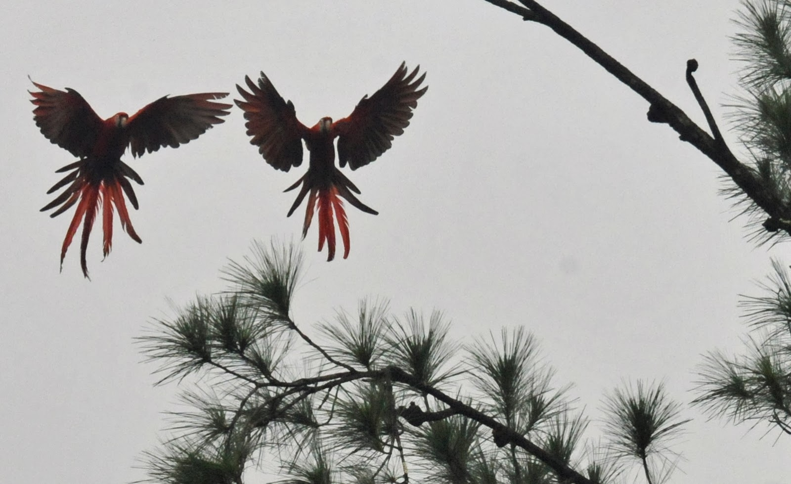 Macaw Pair Pine Trees.jpg