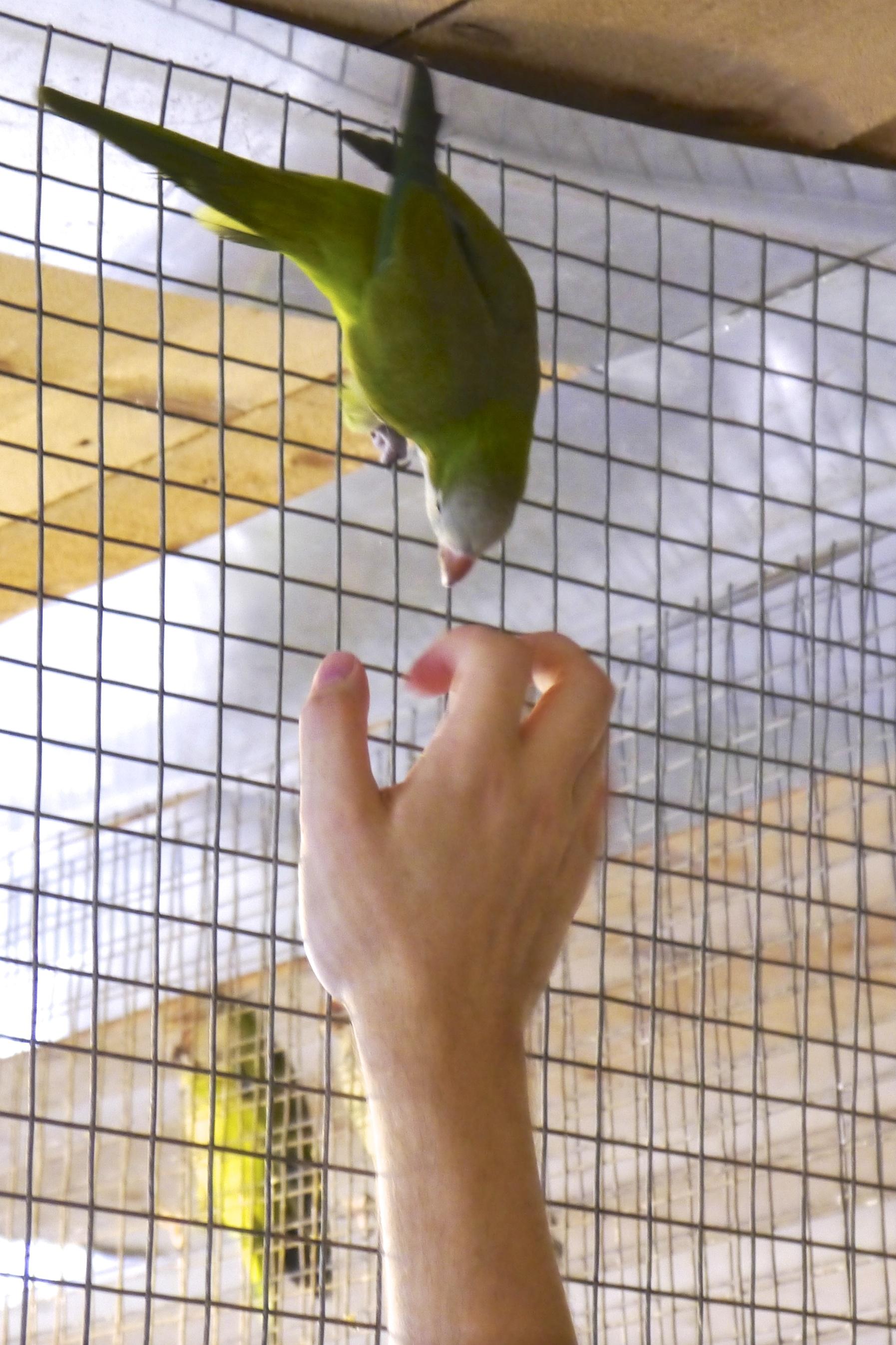 Foster Parrots - Kevin, Quaker.jpg