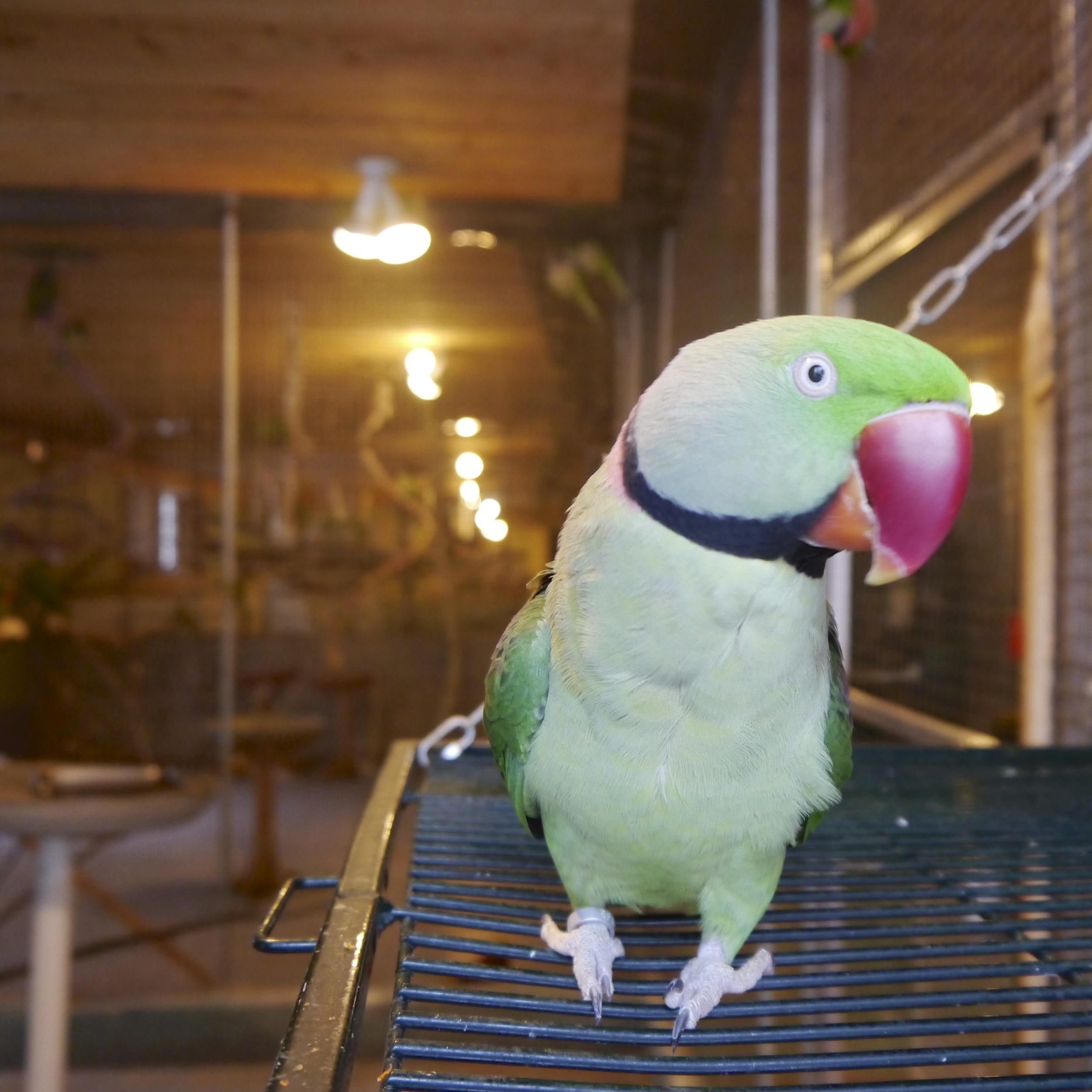 Foster Parrots - Tulip.jpg