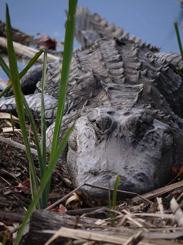 Alligator sunning on a cool morning