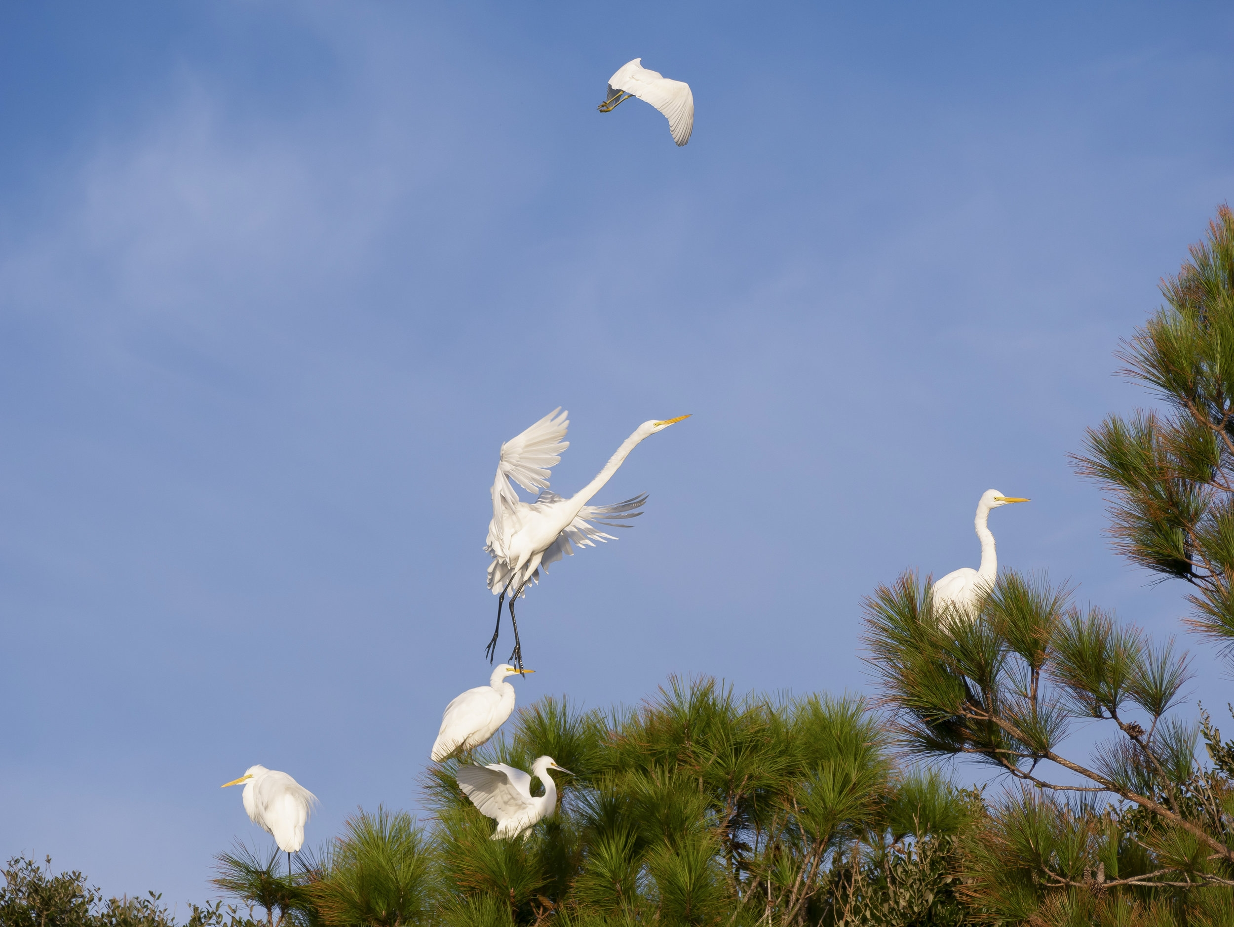 Great Egrets in the early morning