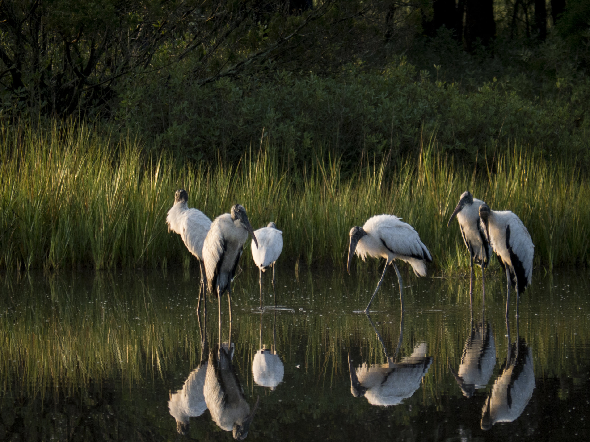 Woodstorks gathering in the early morning