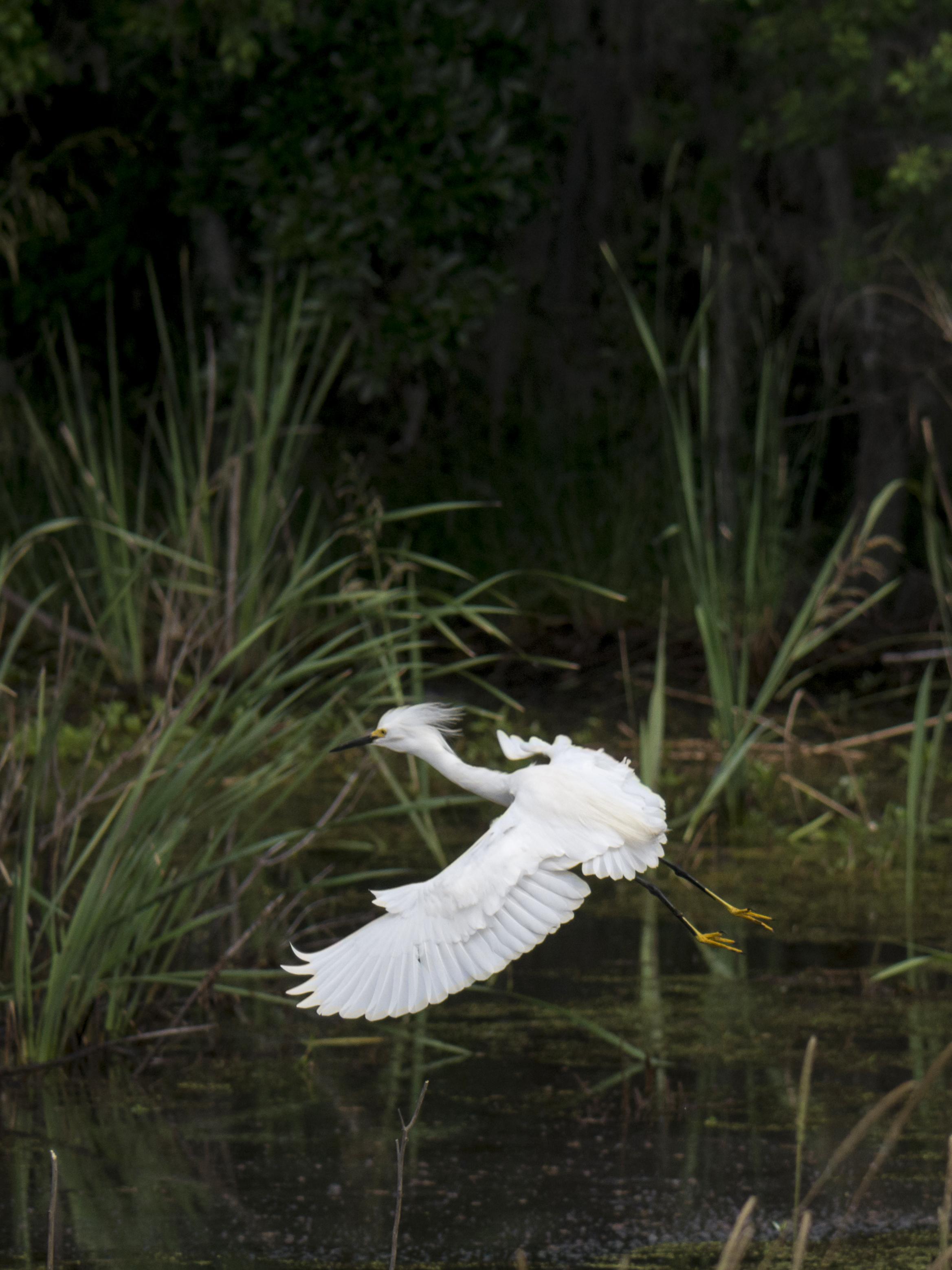 A Snowy Egret taking flight