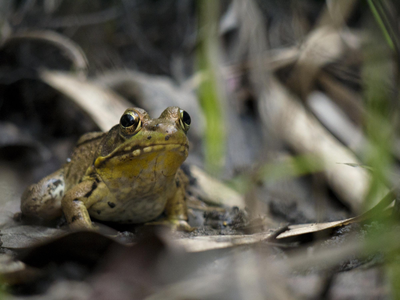 Golden Frog watching over his swamp