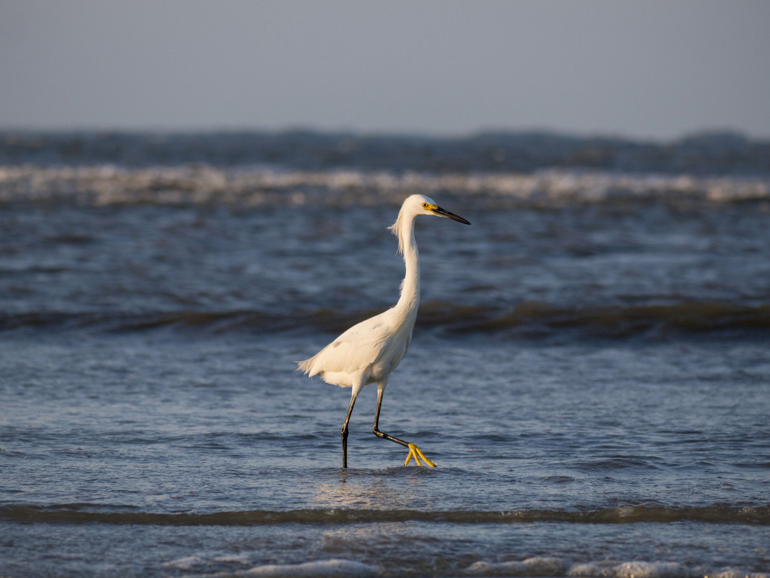 A Snowy Egret searching for food at hightide