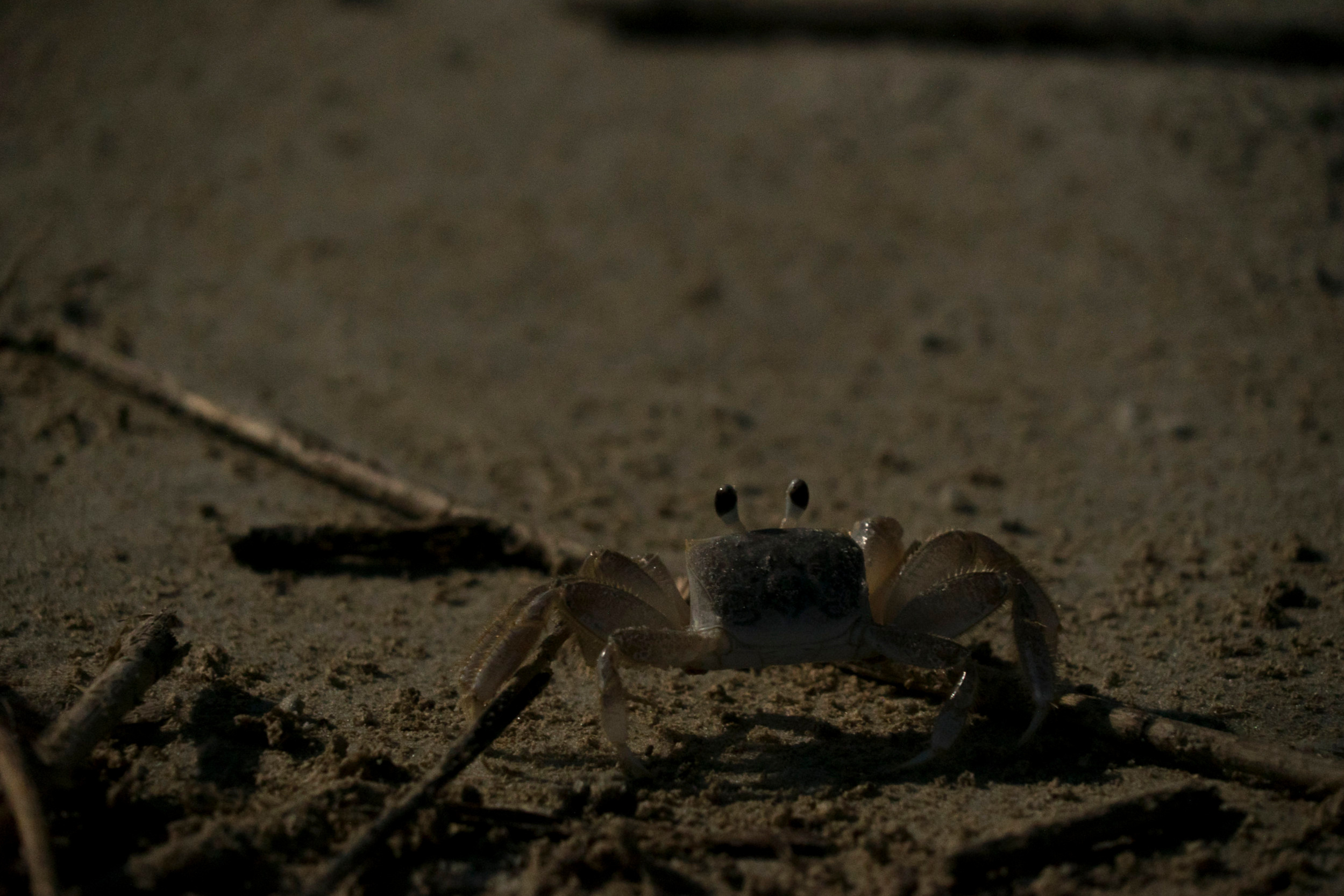 Ghost crab foraging at night