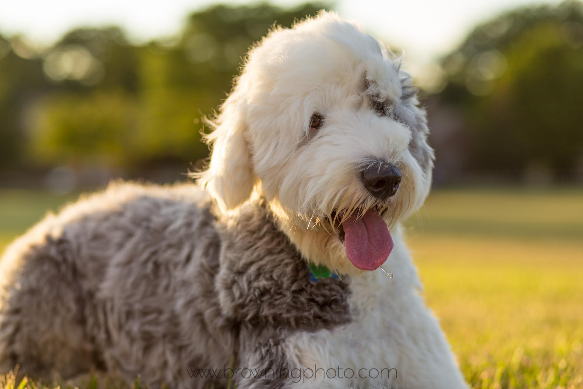 Winnie the old english sheepdog