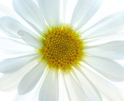 18,DE034,DN,White Daisy.jpg