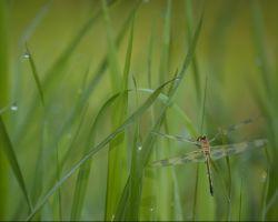 30,DE311,DN,Dragonfly.jpg
