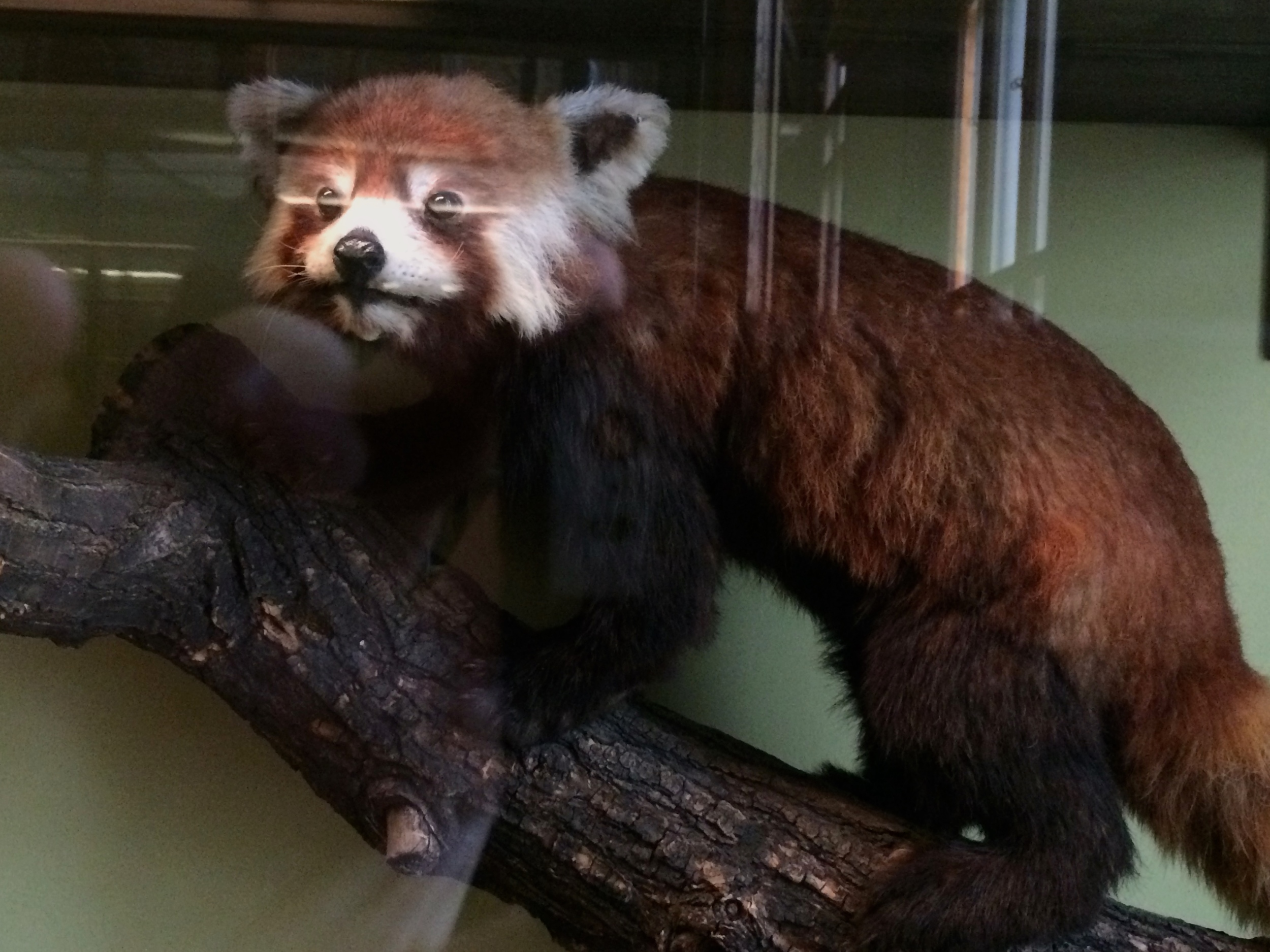 A museum full of thousands of animals and I find the Red Panda. Because they're perfect. I want one. So bad.