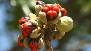 Natal Mahogany seed (Mafura)