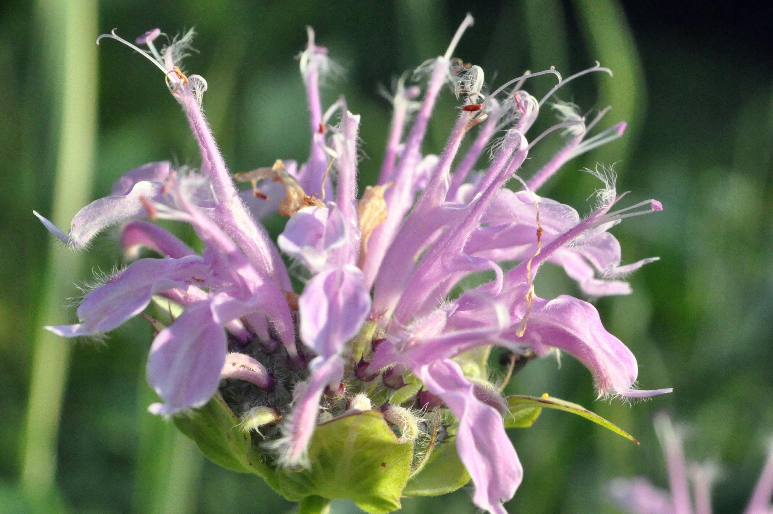 CSC_0355.JPGClover blossom
