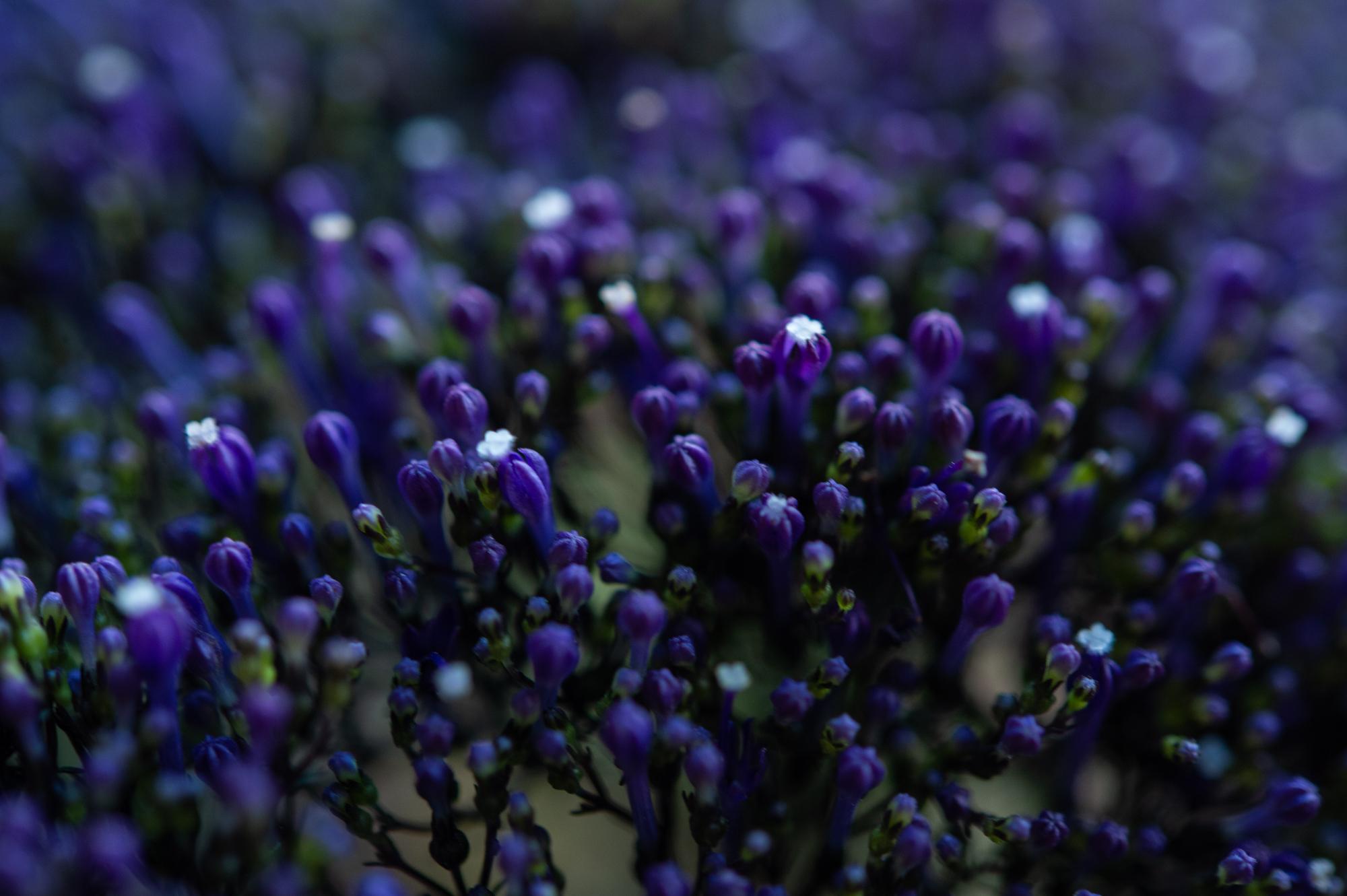 023_flowerpedia__SP45334.jpg