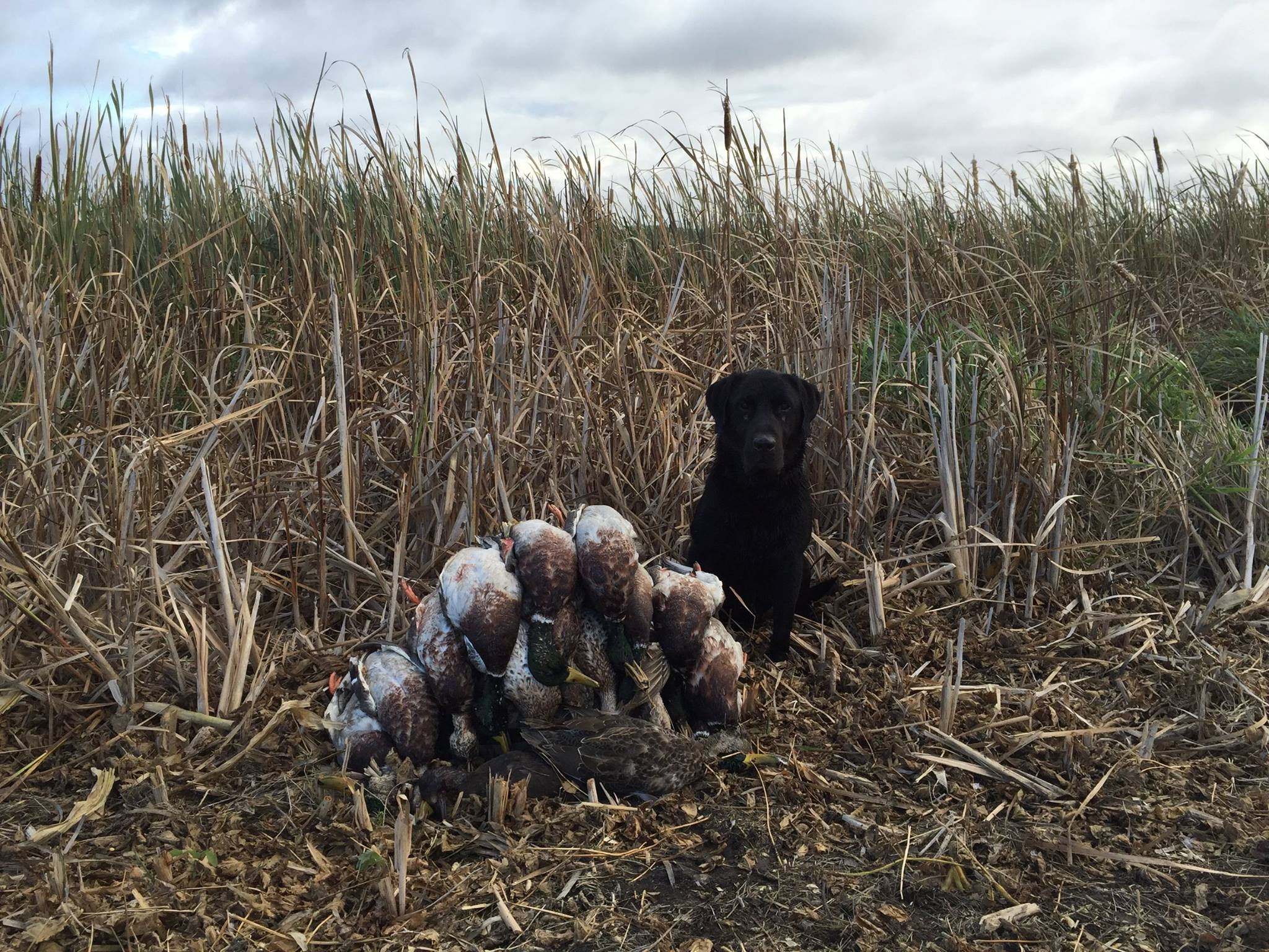 Slider, a trained black labrador purchased from Northern Plains Retrievers, on a hunt