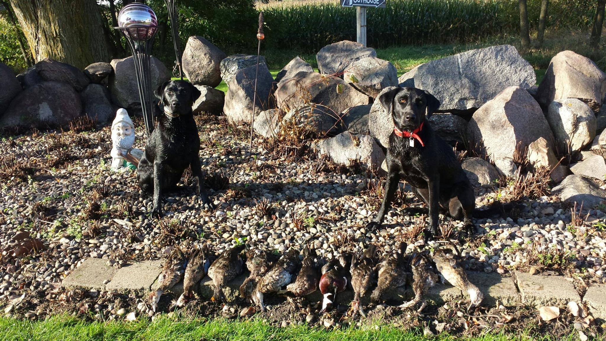 Neil, a labrador retriever trained at Northern Plains Retrievers, after a day of duck hunting
