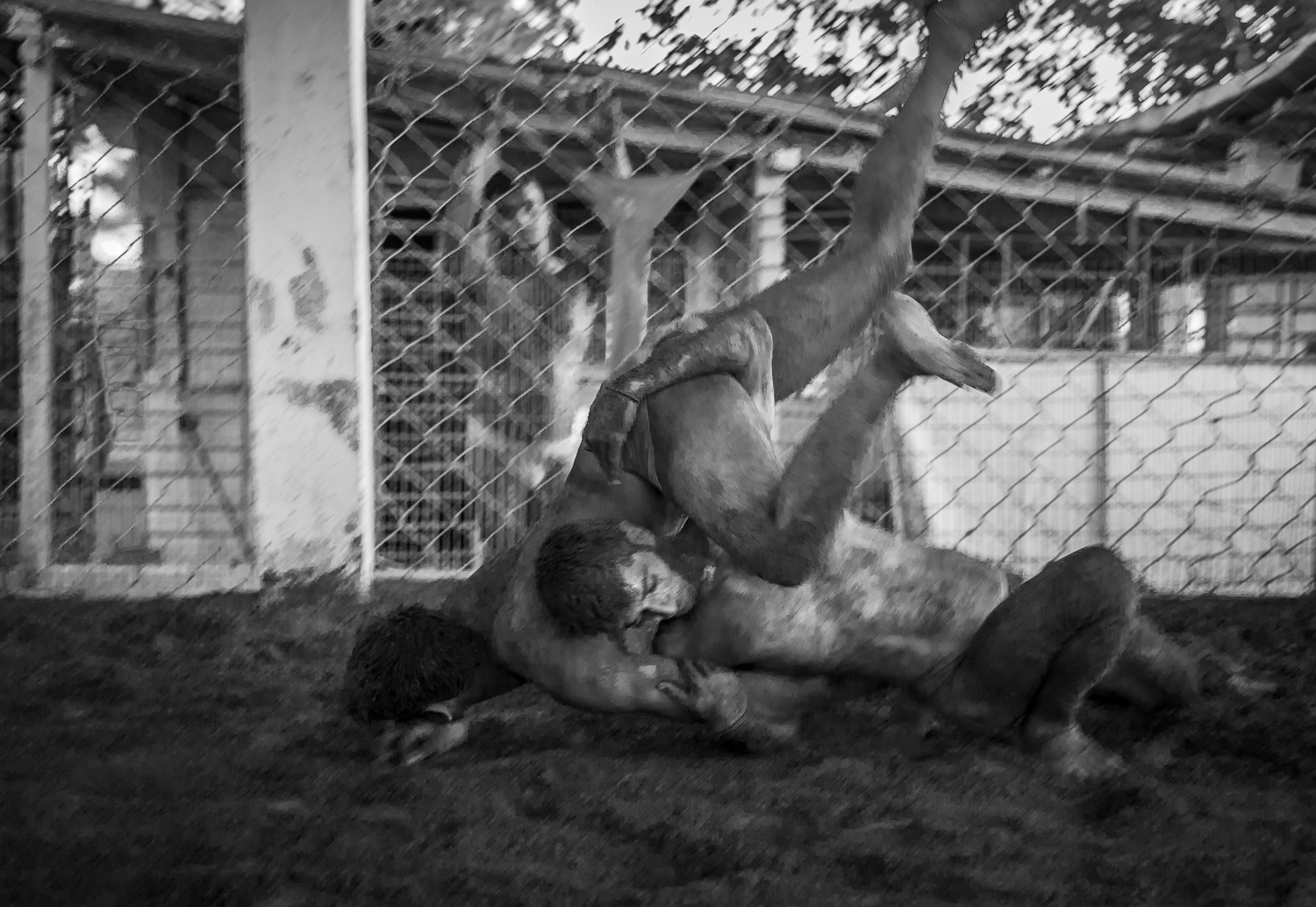 "© Ayash Basu. It takes Suraj Kant a few minutes to regain his position as he tosses Pankaj Patel down in a typical move called the ""dhobi pachad."" Once down on the ground, with the opponent's face in the clay, Suraj is quick to enforce the head and neck strangle (next three images) and end the bout."