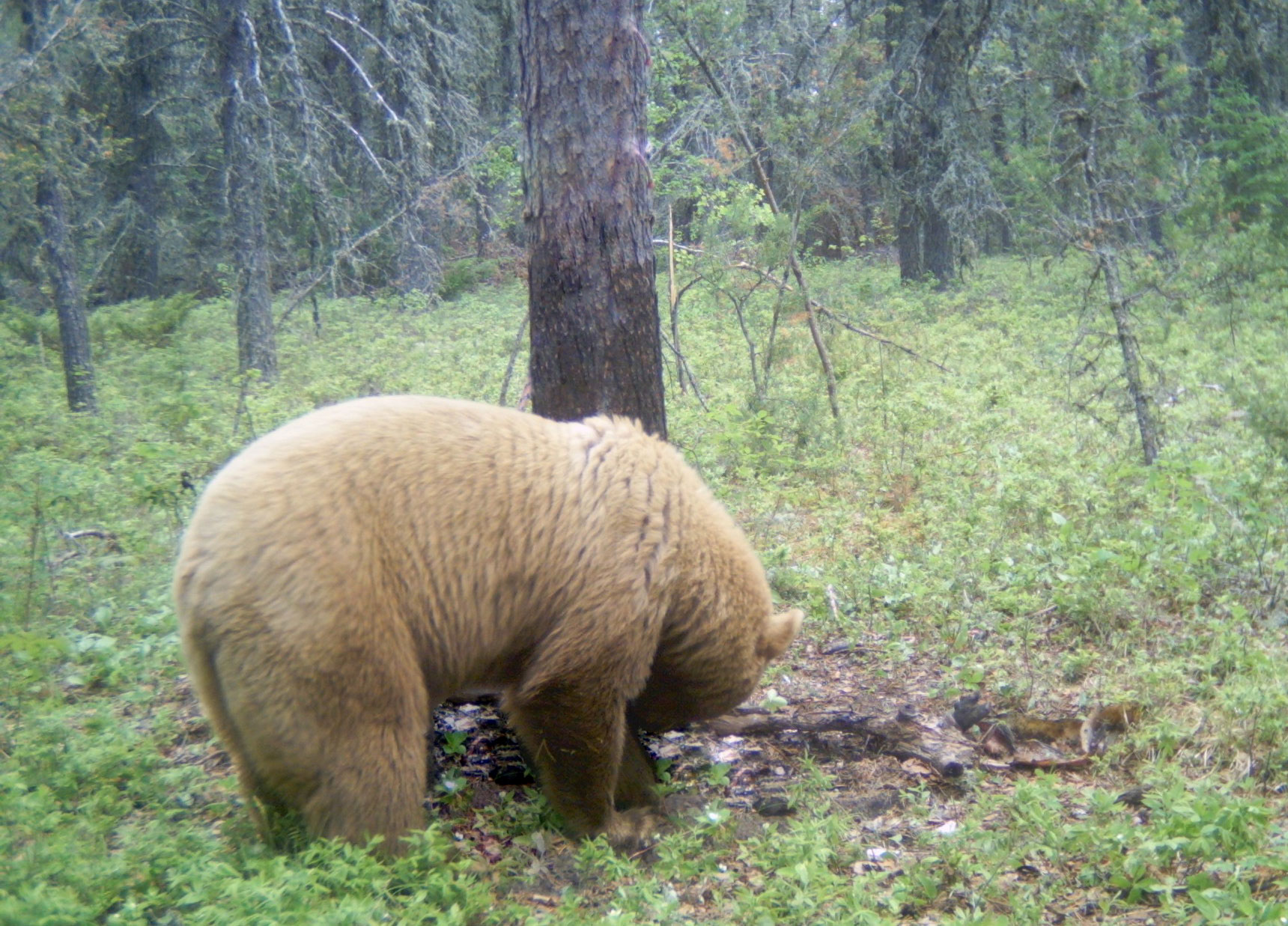 Blonde bear caught on the trail camera
