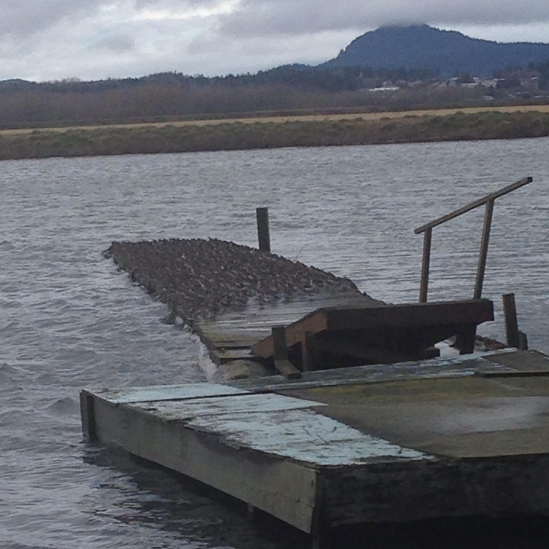 Flock of Dunlin on a dock along the Padilla Bay Dike Walk, Bayview, WA.
