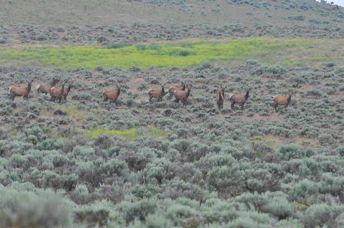 Herd of female elk amid the shrub steppe of Whiskey Dick Wildlife area outside of Vantage, WA. Photo courtesy of Gilia Angell.
