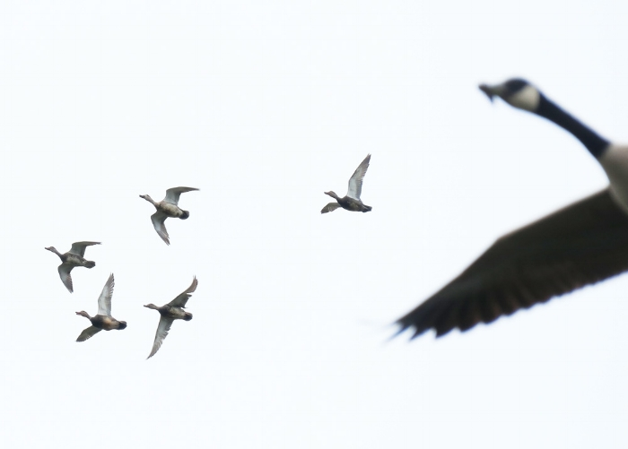 Ducks and Canada Goose in flight.Photo by Mike Hamilton