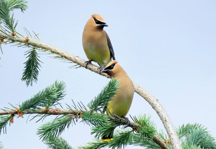 Cedar Waxwings. Photo by Mike Hamilton