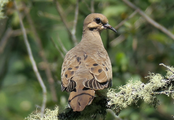 Mourning Dove. Photo by Mike Hamilton