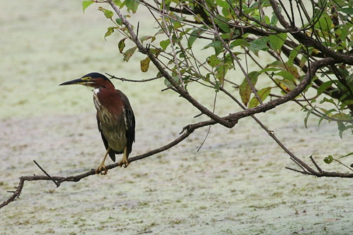 Green Heron. Image: Alex Warnick.