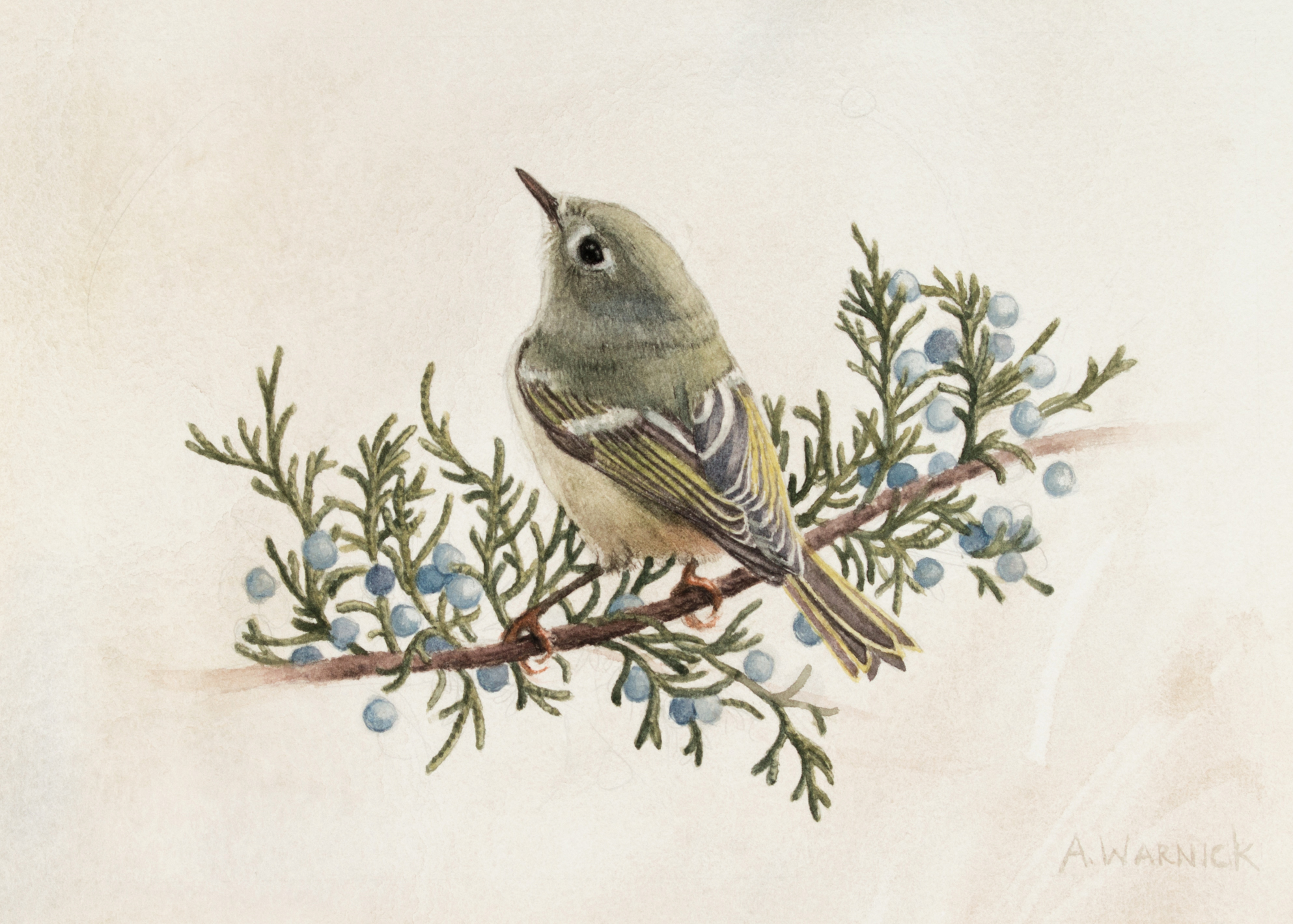 Ruby Crowned Kinglet and Eastern Red Cedar, by Alex Warnick.