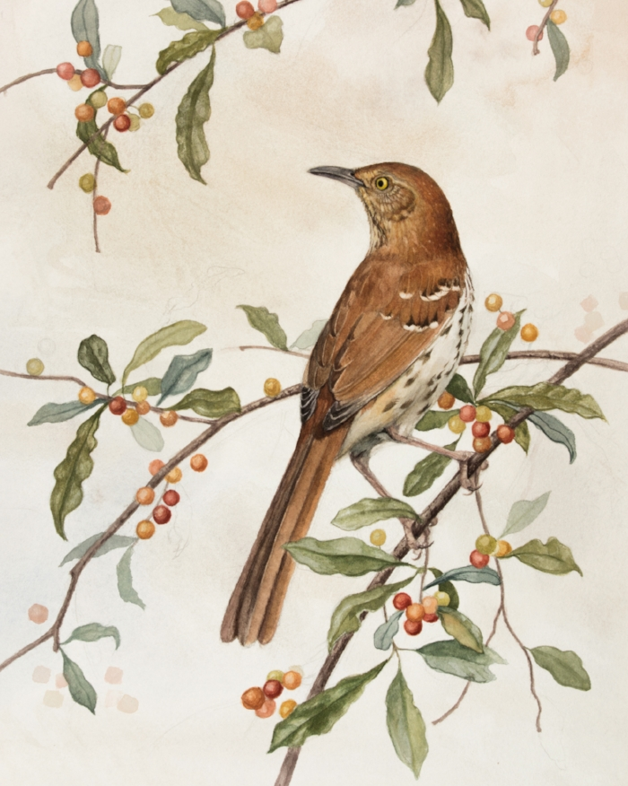 Brown Thrasher and Autumn Olive, by Alex Warnick.