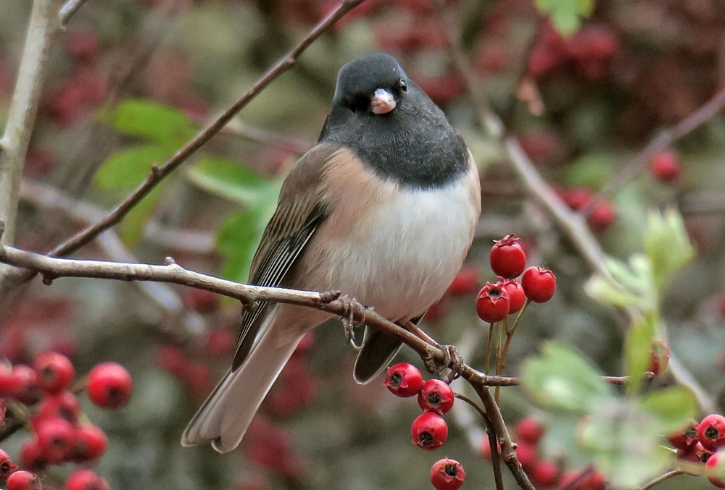 Male Junco. Image: Mike Hamilton.