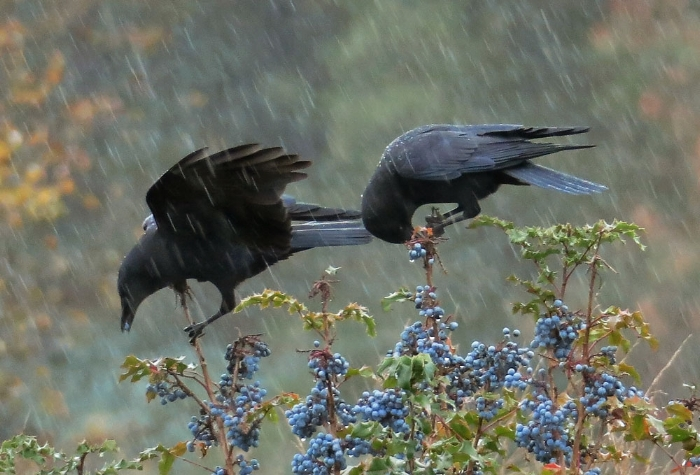 Crows on Oregon Grape, image: Mike Hamilton.