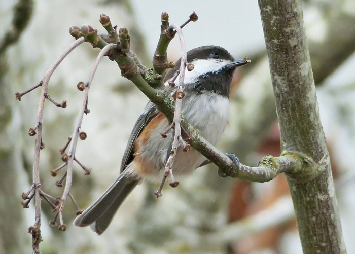 Chesnut-backed Chickadee, Image: Mike Hamilton