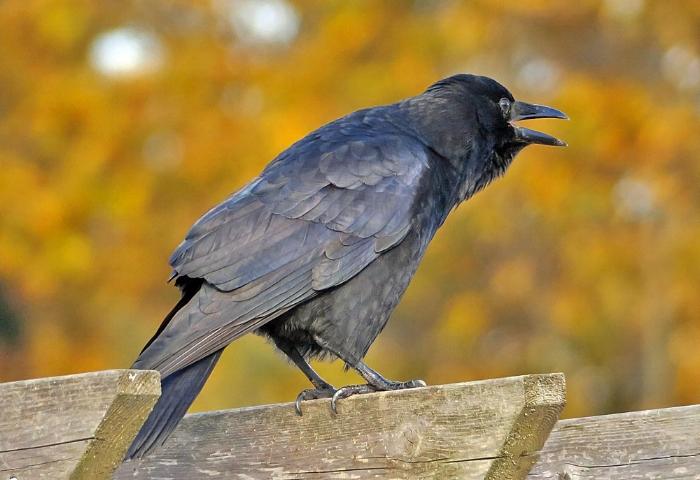 American Crow, Image: Mike Hamilton