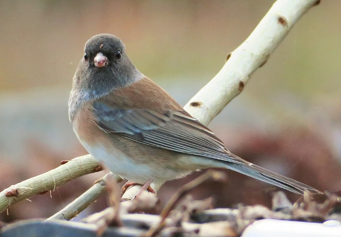 Junco, Image: Mike Hamilton