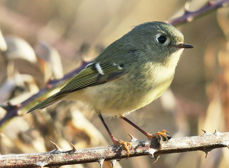 Ruby-crowned Kinglet seen at Eide road stop (this photo taken at another location by Mike Hamilton).