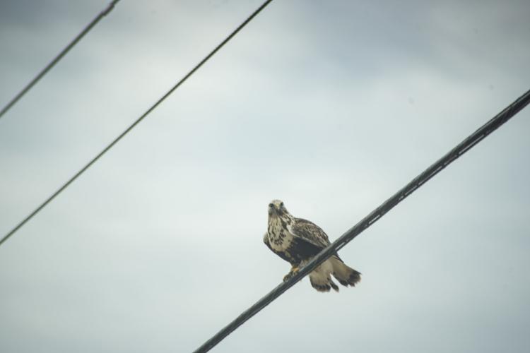 Rough-legged hawk seen along the road, Samish flats. Image: Ivy Yakun Jin.