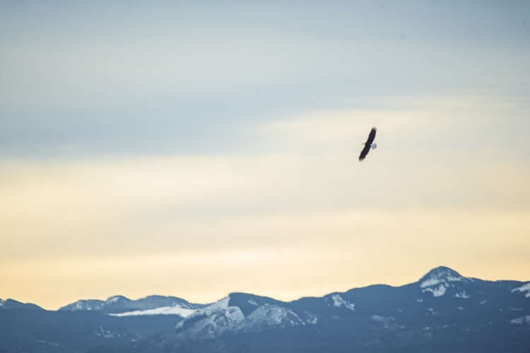 Bald eagle against the Cascade foothills. Image: Ivy Yakun Jin.