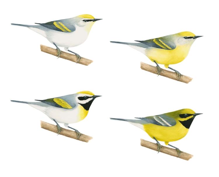 Warbler hybrids. Courtesy Liz Clayton Fuller.