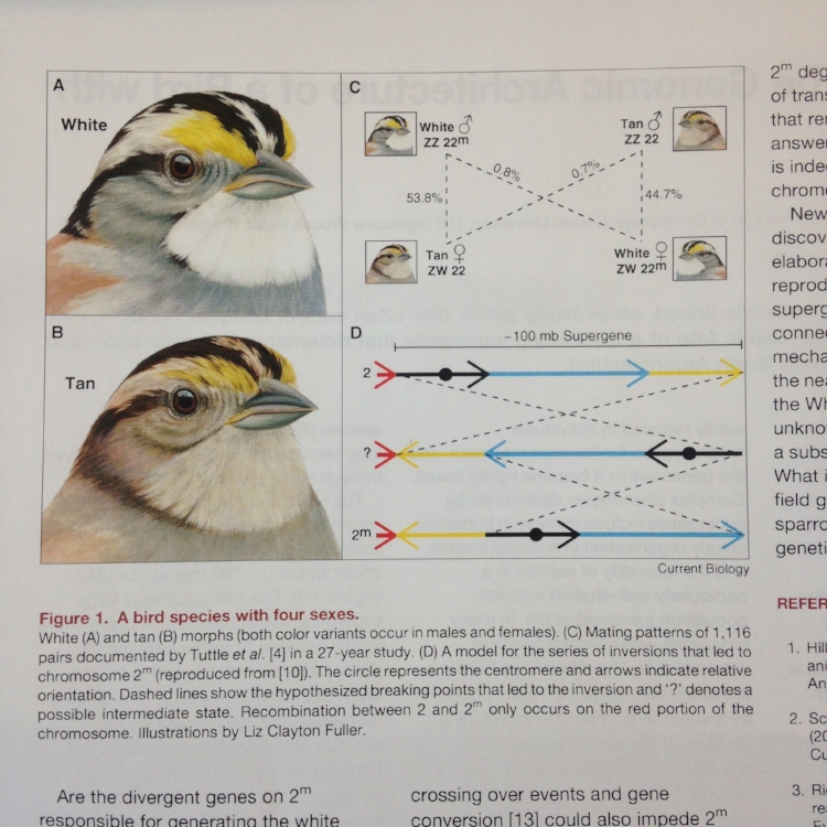 Images of White-throated sparrow for a scientific paper. Image courtesy of the artist.