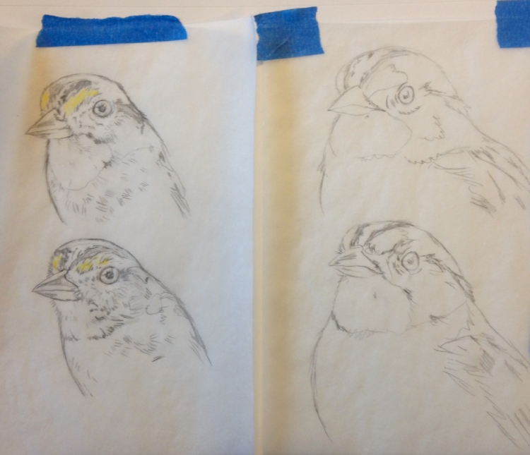 Dead (L) versus alive (R) White-throated sparrow sketches. Image courtesy of the artist.