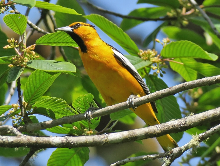 Male Bullocks Oriole (photo by Mike Hamilton). We saw a pair of these at Cle Elum ponds.