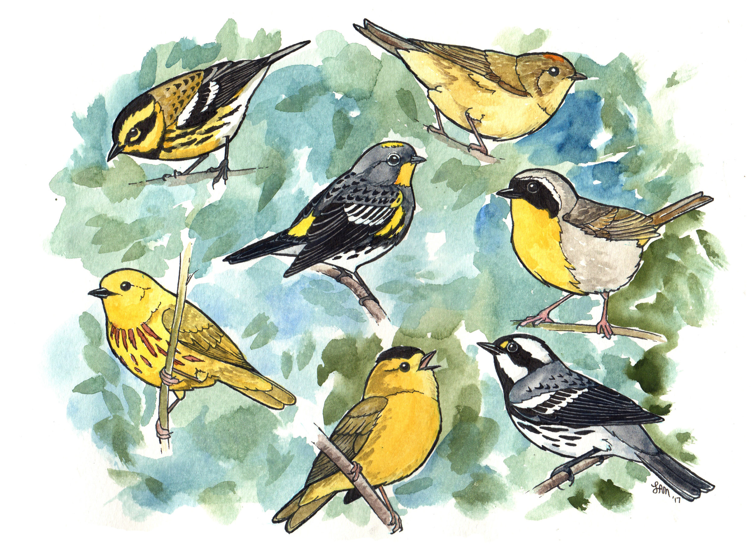 Warbler species of Washington State. Artwork by Laurel Mundy.