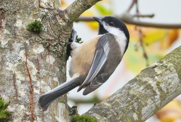 Black-capped Chickadee. Photo by Mike Hamilton.