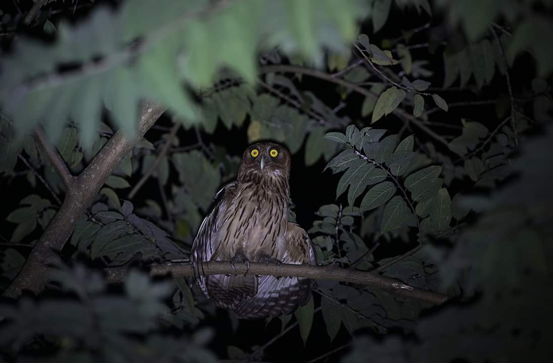 A Philippine Eagle Owl, Luzon, the Philippines.