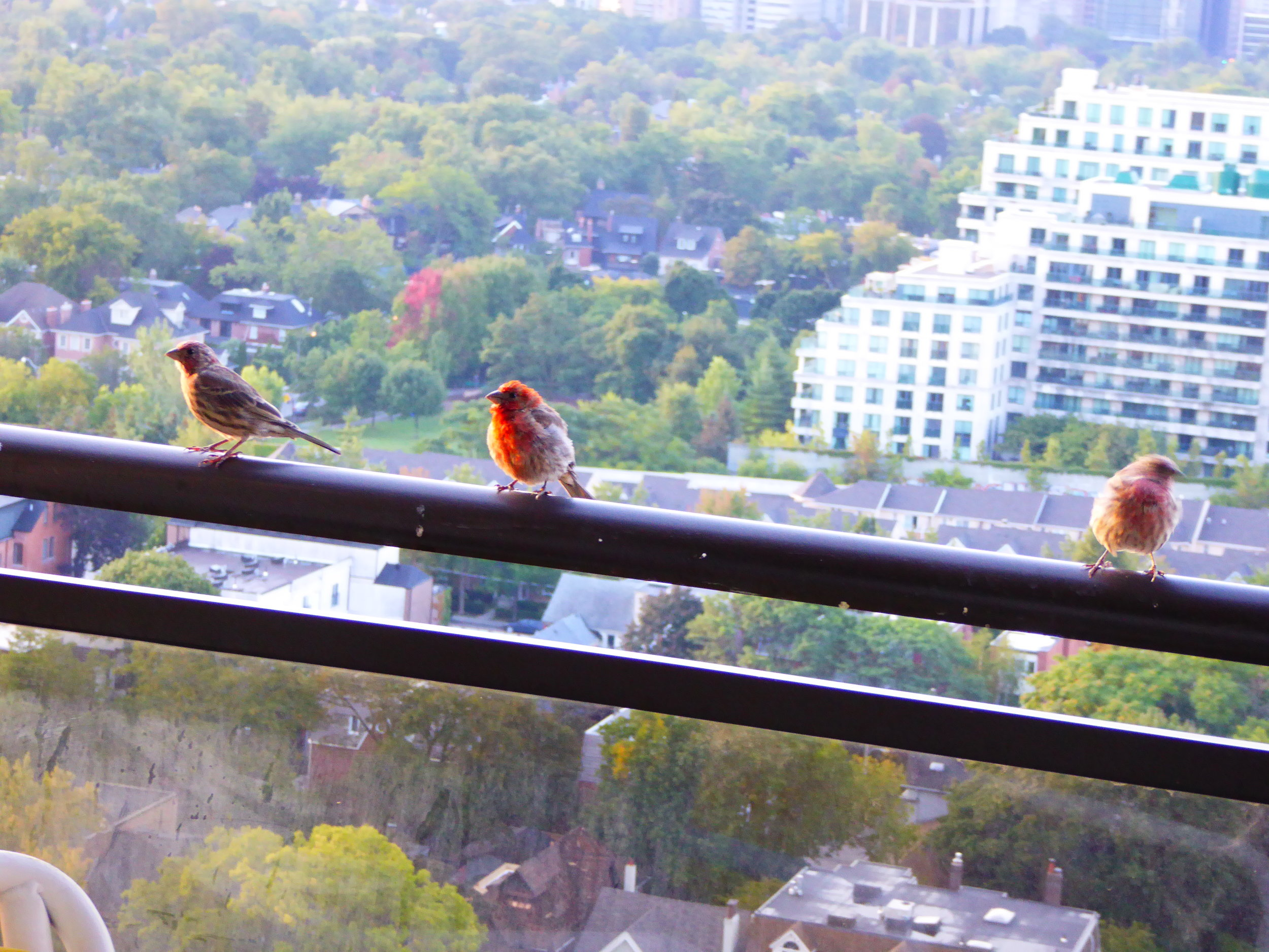 House Finches on the 21st story balcony of a Toronto apartment. Courtesy of Lynn P.